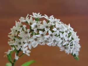 Photograph of gooseneck loosestrife flower in white light