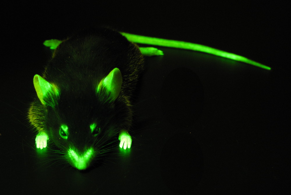 Mouse with actin labeled with GFP (c) Charles Mazel