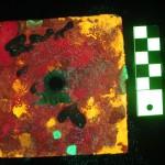 Settlement tile - fluorescence (c) Charles Mazel
