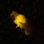 Drosophila adult, Venus in muscle