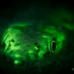 Lizardfish (Synodus sp.) (c) Jeff Honda