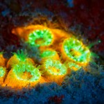 Large star coral (Montastraea cavernosa) fluorescing (c) Steve Kopp