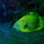 Sharptail (snake) eel (Myrichthys breviceps) (c) Sterling Zumbrunn