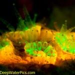 Green- and orange-fluorescent proteins in a coral, Bonaire. (c) Lureen Ferretti
