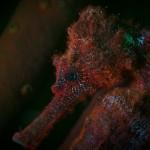 Fluorescing seahorse. (c) Philip Seys