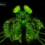 Lisa's Mantis Shrimp Fluorescence (Lysiosquillina lisa) (c) Alex Tyrrell