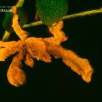 Fluo Orangutan Crab (Achaeus japonicus) (c) Alex Tyrrell