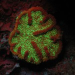 Green-fluorescent protein and red chlorophyll fluorescence in a coral and surrounding algae, Bahamas. (c) Charles Mazel