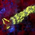 Nudibranch with a hitchhiking shrimp (c) Matej Simonic