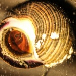 White light photograph of the underside of a snail shell, showing the operculum