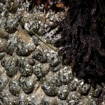 Anemone-covered rocks, white light (c) Charles Mazel
