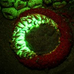 Aggregating anemone Anthopleura elegantissima, fluorescence (c) Charles Mazel