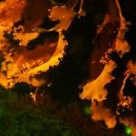 Red algae, fluorescence (c) Charles Mazel