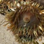 Aggregating anemone Anthopleura elegantissima, white light (c) Charles Mazel