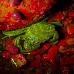 Crab next to rock, fluorescence (c) Charles Mazel