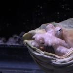 Octopus, white light (c) Charles Mazel