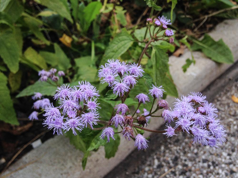 Ageratum sp. flowers (c) Charles Mazel