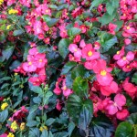 Begonias (c) Charles Mazel