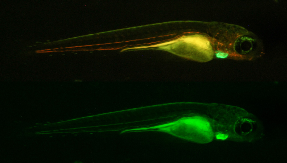 Transgenic fluorescent zebrafish photographed through longpass (top) and bandpass filters