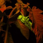Grasshopper on tomato plant, fluorescence