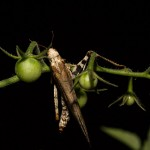 Grasshopper on tomato plant, white light