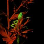 Grasshopper on plant, fluorescence