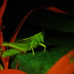 Grasshopper on concrete, fluorescence