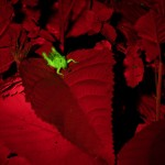 Grasshopper on plant, fluorescence