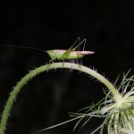 Grasshopper on Queen Anne's lace, white light