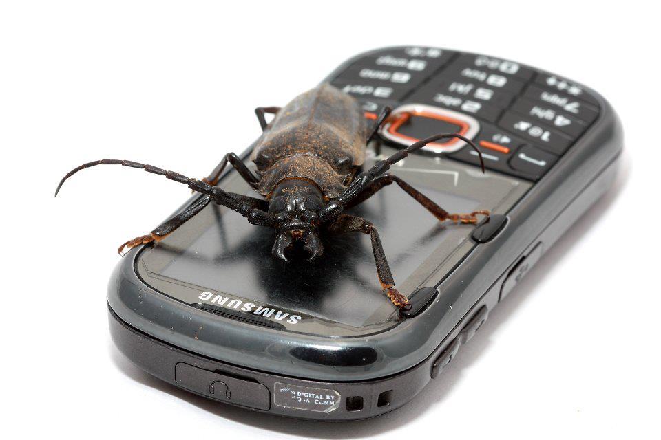 Palo verde borer beetle (c) Robert Mitchell