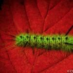 Caterpillar on leaf, fluorescence, Maine