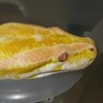Albion Burmese Python, white light