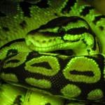 Snake, fluorescence