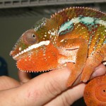 Panther chameleon, white light