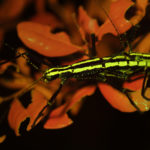 Two-striped walking stick Anisomorpha buprestoides fluorescence (c) Charles Mazel