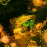 Hermit crab, Pagurus sp., fluorescence (c) Charles Mazel