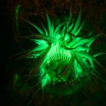 Anemone, Anthopleura sola, fluorescence (c) Charles Mazel