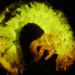 Beetle larva fluorescing under blue excitation light