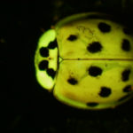 Lady bug fluorescing under blue excitation light