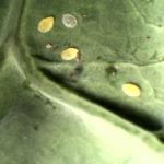 Nondescript egg cases on leaf under white light