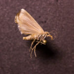 Moth (Lepidoptera) under white light