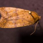 Bicolored Swallow Moth (Sunira bicolorago) under white light