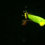 Wasp (Ichneumonidae Artranis director) fluorescing under blue excitation light