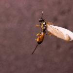 Wasp (Ichneumonidae Artranis director) under white light