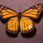 Male Monarch Butterfly (Danaus plexippus) under white light