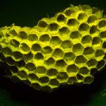 Paper Wasp nest fluorescing under blue light