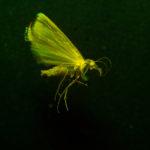 Moth (Lepidoptera) fluorescing under blue excitation light