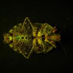 Brown marmorated stink bug (Halyomorpha halys) fluorescing under blue excitation light