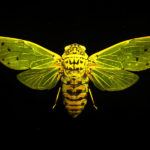Cicada (Megapomponia intermedia) fluorescing under blue excitation light