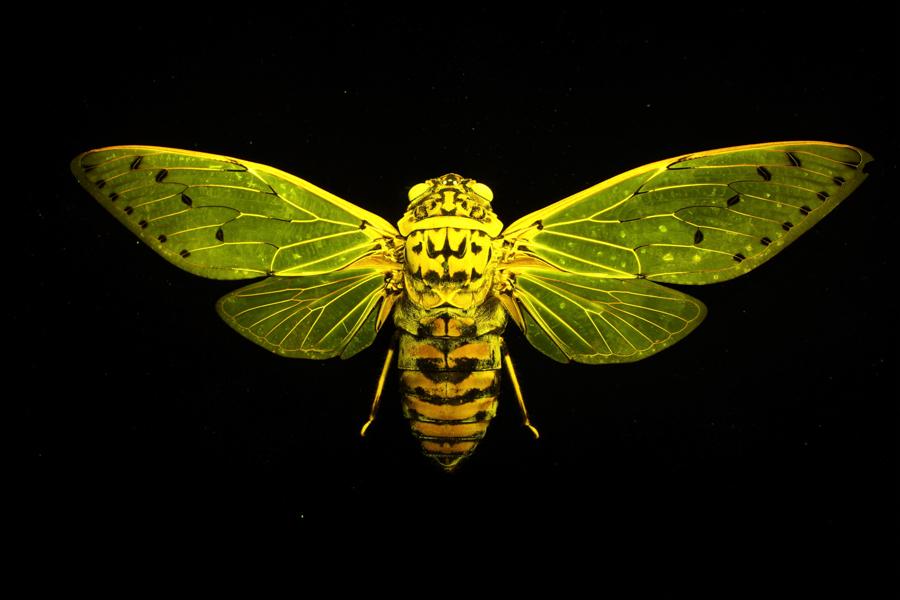 Cicada (Megapomponia intermedia) fluorescing under blue excitation light